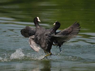 Il censimento degli uccelli acquatici svernanti