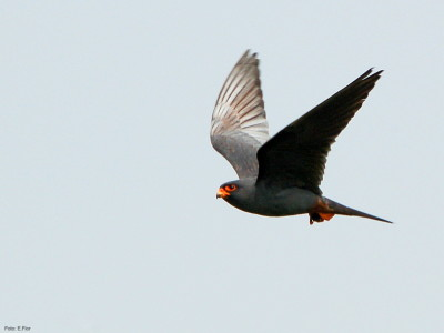 Birdwatching in pianura