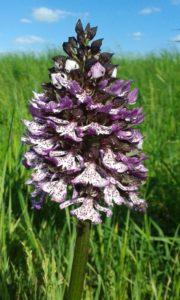 ESPERTA Srl - Riconoscere le orchidee selvatiche del Parco Fluviale del Taro - Collecchio (Parma) - Parchi del Ducato.